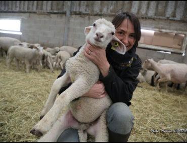L'agneau dans le pré